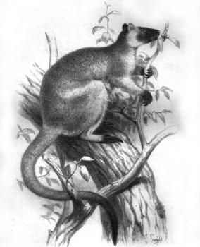Lumholtz's_Tree-kangaroo.jpg