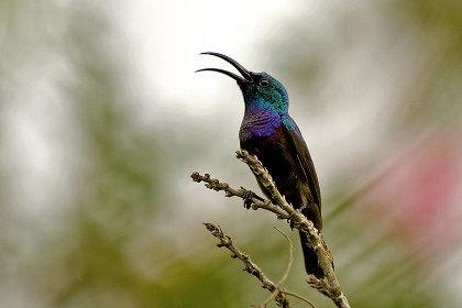 サンバード(sunbird)